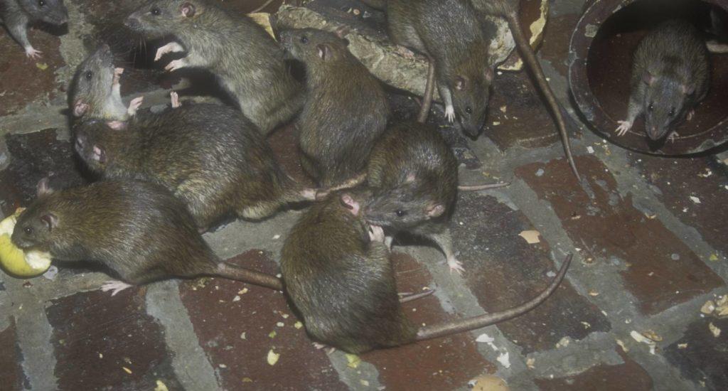уничтожение крыс в Белоярском